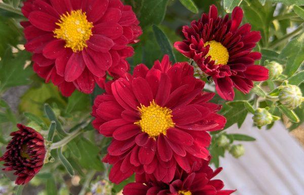 Garden Mum 'Bonnie Red' – (New For 2021)