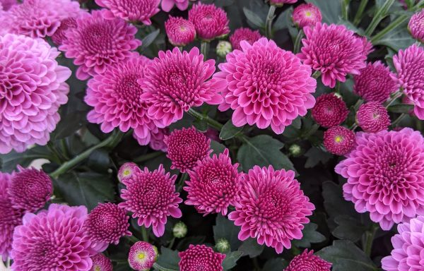 Garden Mum 'Cheryl Regal Purple'