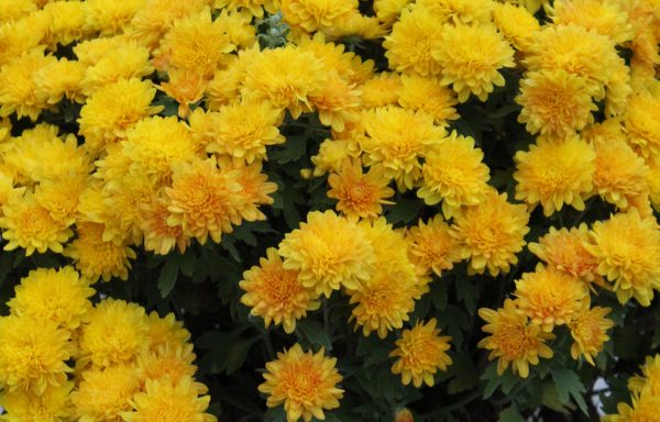 Garden Mum 'Chloe Yellow'