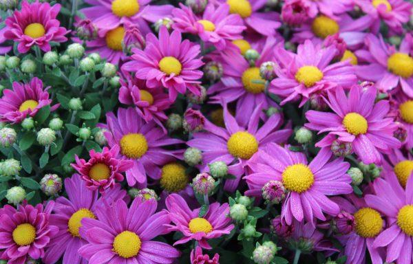 Garden Mum 'Demi Pink' – (New For 2021)