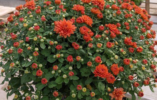 Garden Mum 'Ursula Fancy Orange'