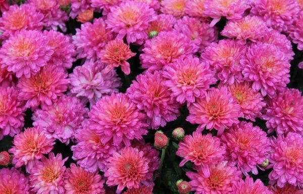 Garden Mum 'Flamingo Neon Pink'