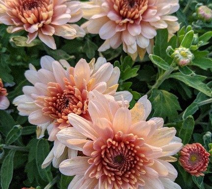 Garden Mum 'Fonti Coral' – (New For 2021)