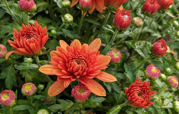 Garden Mum 'Fonti Orange'