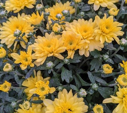 Garden Mum 'Fonti Yellow' – (New For 2021)