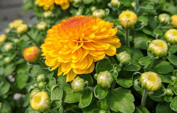 Garden Mum 'Gigi Gold'