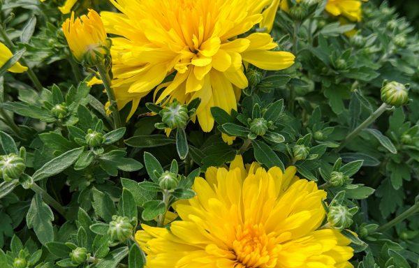 Garden Mum 'Honeyblush Yellow'