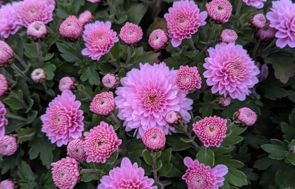 Garden Mum 'Jasoda Pink'