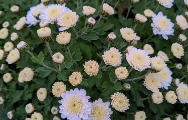 Garden Mum 'Jasoda White'