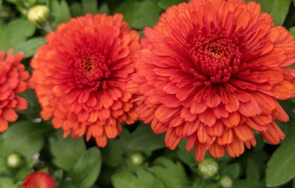 Garden Mum 'Rhinos Orange'