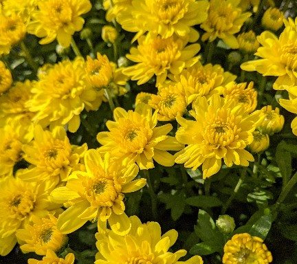 Garden Mum 'Sunrise Yellow' – (New For 2021)