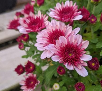 Garden Mum 'Lively Pink Bicolor'