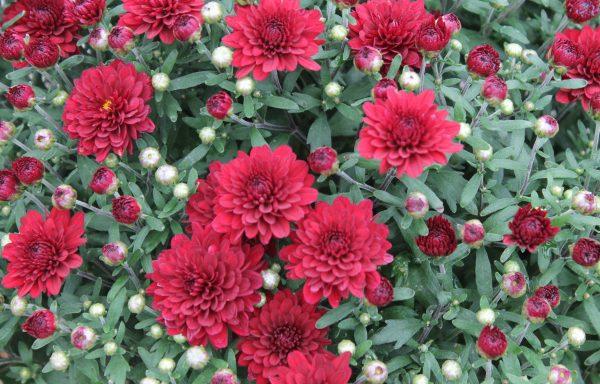 Garden Mum 'Mila Red' – (New For 2021)