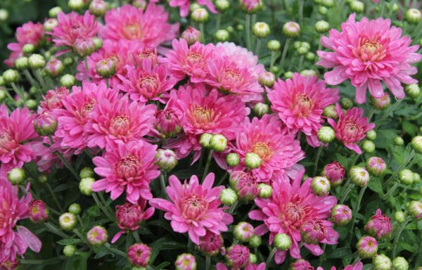 Garden Mum 'Stellar Pink'