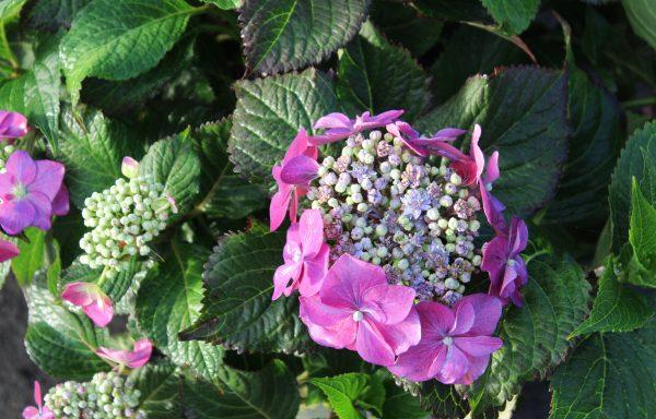 Hydrangea, Seaside Serenade® 'Cape May'