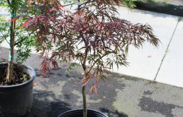 Maple, Japanese Laceleaf 'Red Dragon'