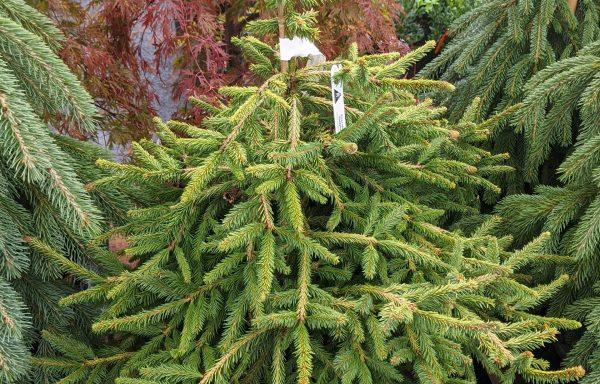 Spruce, Norway 'Dandylion'