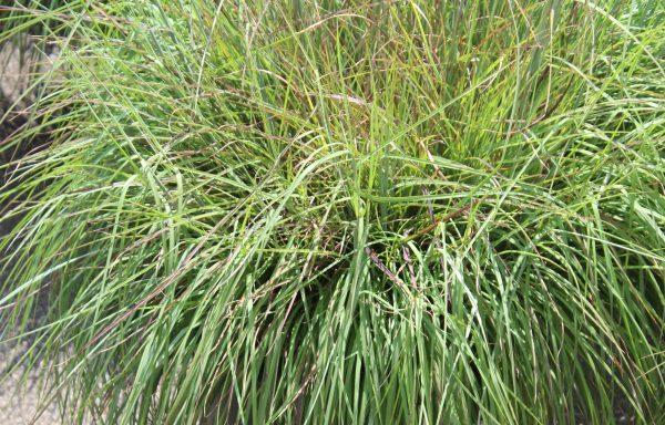Grass, Blue Stem 'Black Mountain'