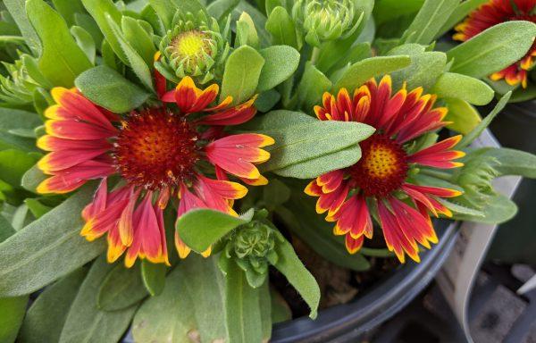 Blanket Flower, Spintop 'Orange Halo'