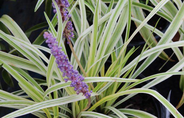 Grass, Lilyturf 'Silvery Sunproof'