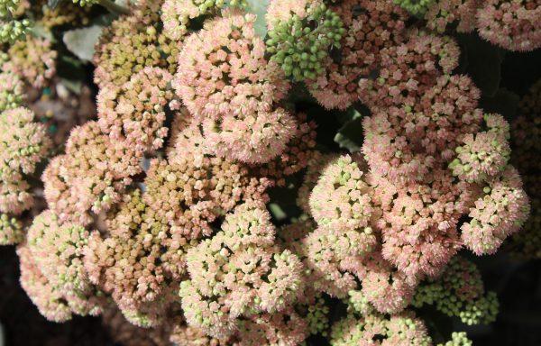 Sedum, Rock-N-Grow® 'Coraljade'