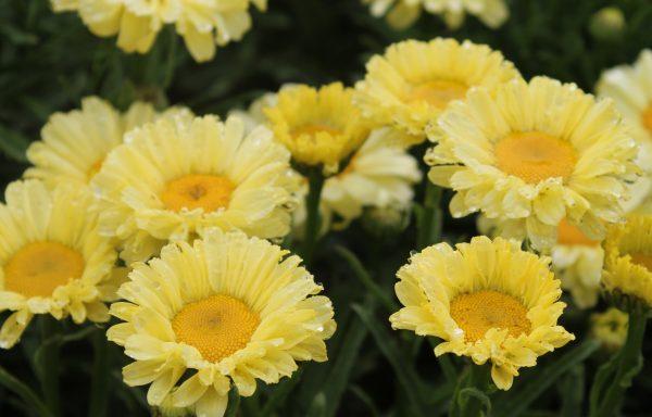 Shasta Daisy 'Real Sunbeam'
