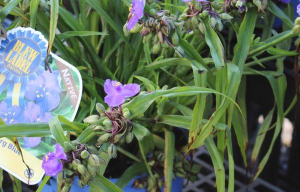 Spiderwort, Zwanenburg 'Blue'